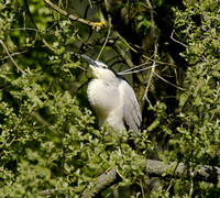 Night Heron 2015