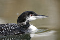 Great Northern Diver 2013