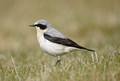 Northern & Desert Wheatear