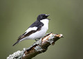 Pied Flycatcher 2013
