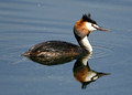 Great Crested Grebe & Little Grebe