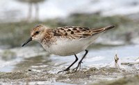 Little Stint (adult)