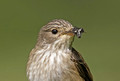 Spotted Flycatcher 2012