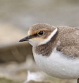 Ringed Plover & Little Ringed Plover