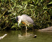 Black-crowned Night Heron 2014