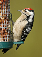 Green,Great & Lesser Spotted Woodpeckers