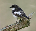 Pied Flycatcher 2012
