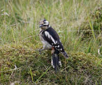 (Northern) Great Spotted Woodpecker