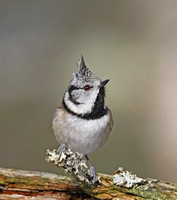 Crested Tit 2015