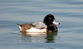 Greater Scaup & lesser scaup