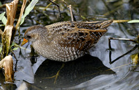 Spotted Crake & Water Rail