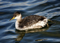 Red-necked Grebe 2013
