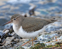 Common Sandpiper & Spotted Sandpiper