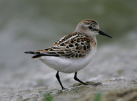 Little Stint (Juv)
