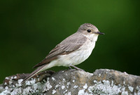 Spotted Flycatcher
