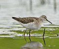 Green,Wood & Solitary Sandpiper