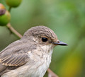 Pied Flycatcher & Spotted Flycatcher