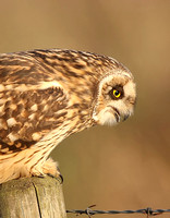 Long-eared Owl & Short-eared Owl
