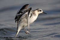 Grey Phalarope & Red-necked Phalarope