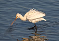 Spoonbill (Draycote Water,Warks)